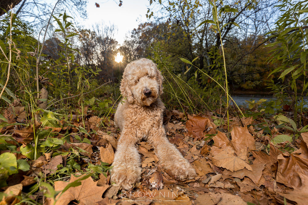 goldendoodle highbanks 4