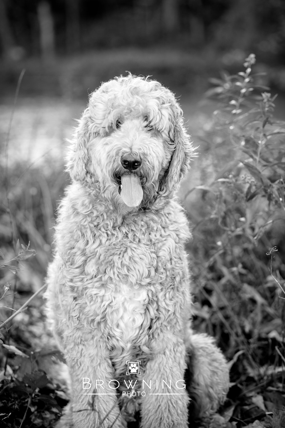 goldendoodle highbanks 5