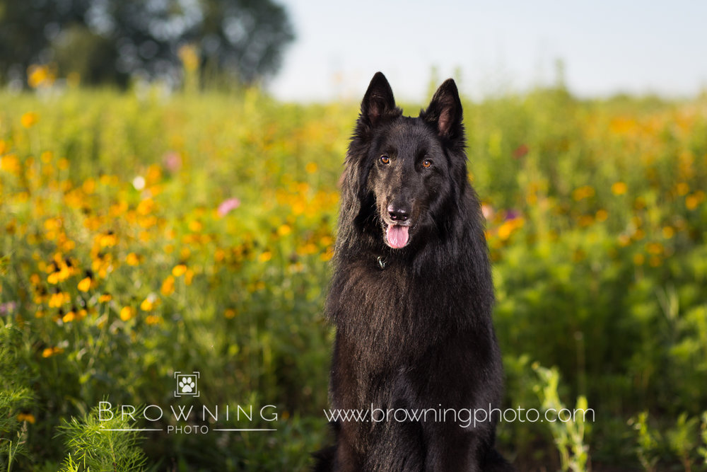 belgian-shepherd-at-sunrise-2