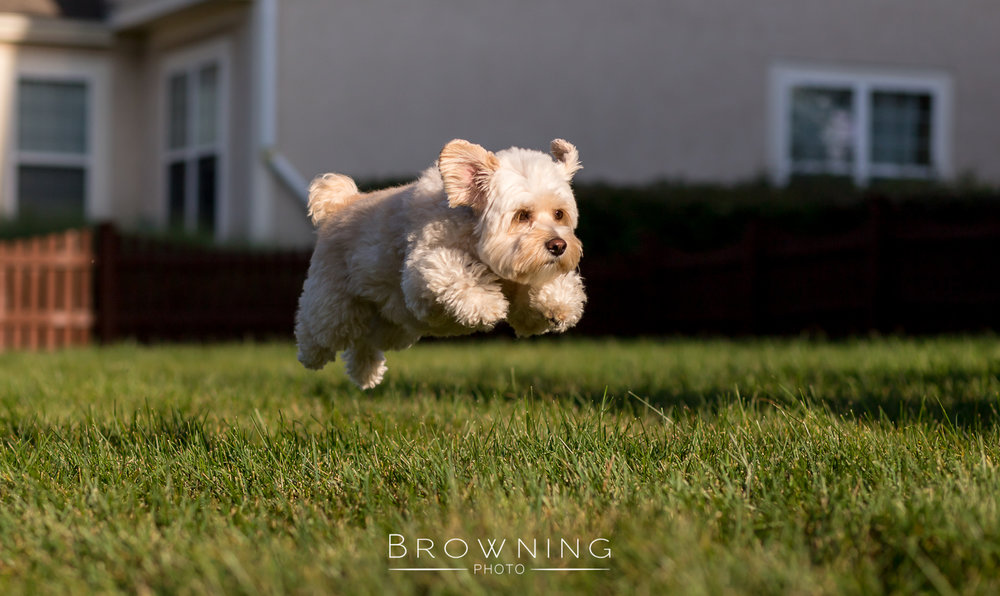 cockapoo-running-1