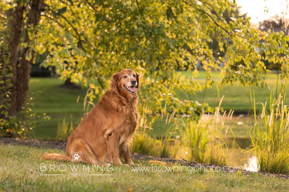 red-golden-retriever-1