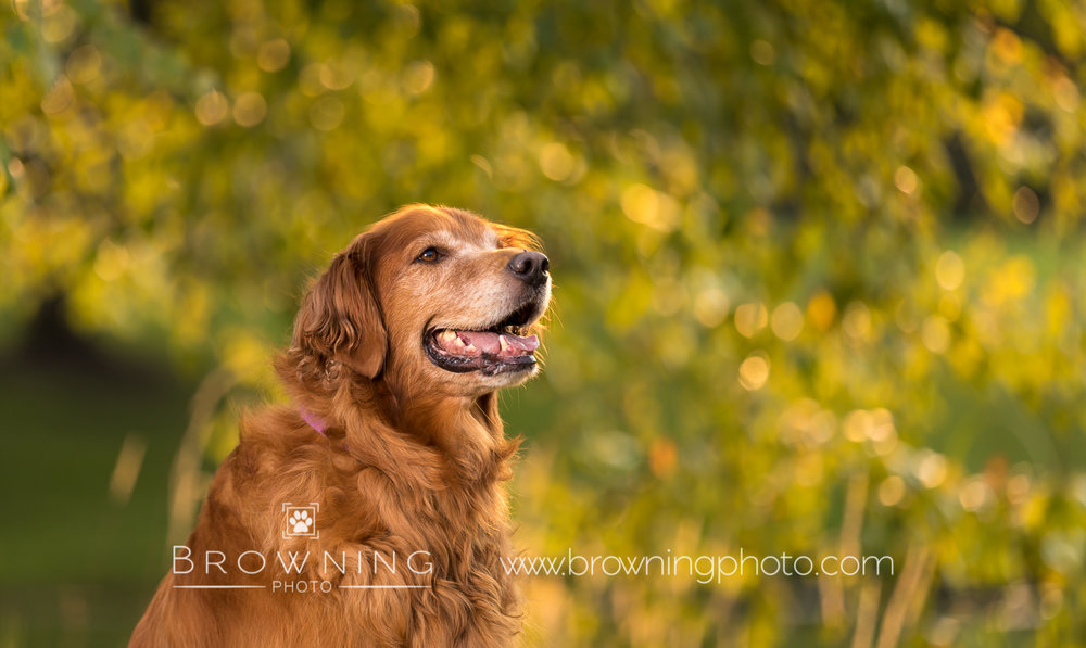 red-golden-retriever-3