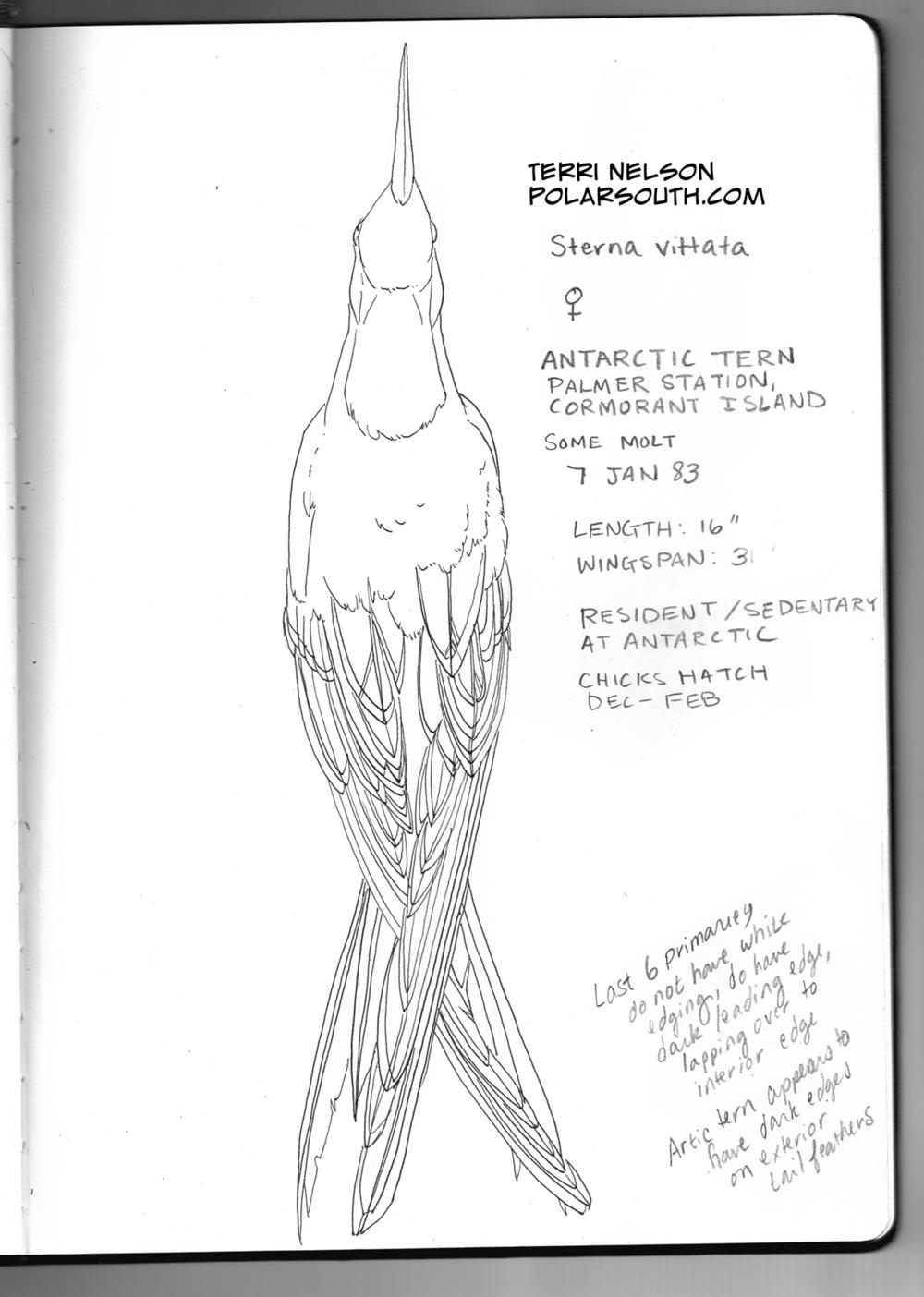antarctictern.png