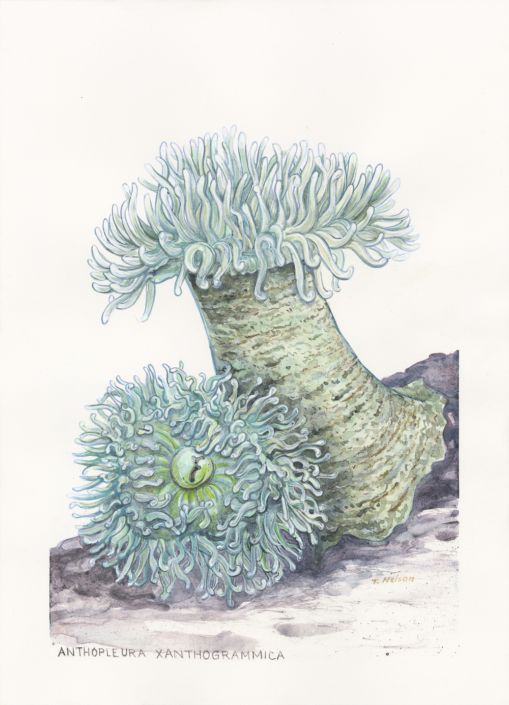 "Giant Green Anemones (watercolor, 10"" x 14"")"