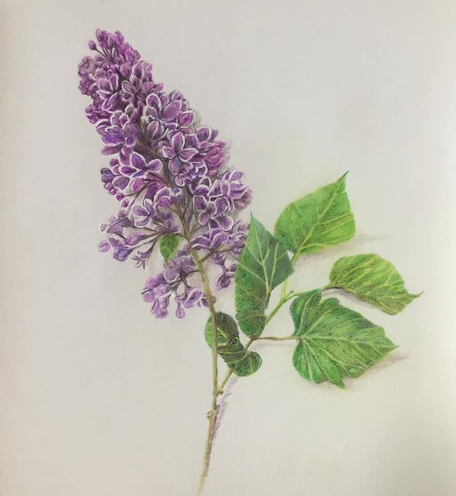 Done. Lilac, colored pencil on acrylic film.