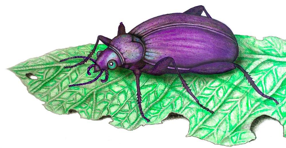 He aha te tae o te pītara? What colour is the beetle? Ngā Tae-Colours