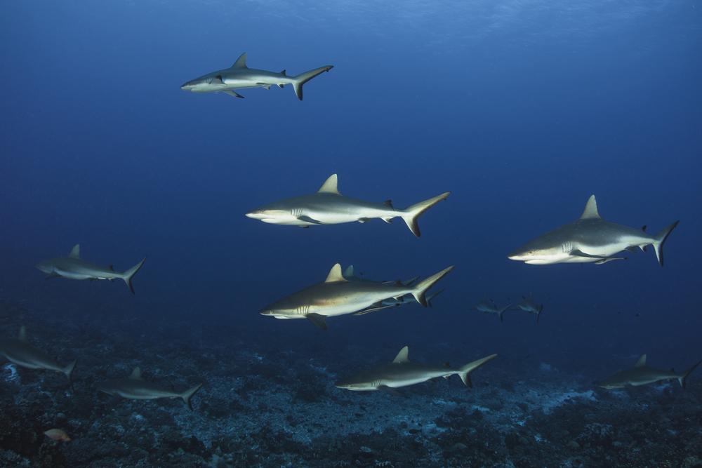 tiburones.jpg