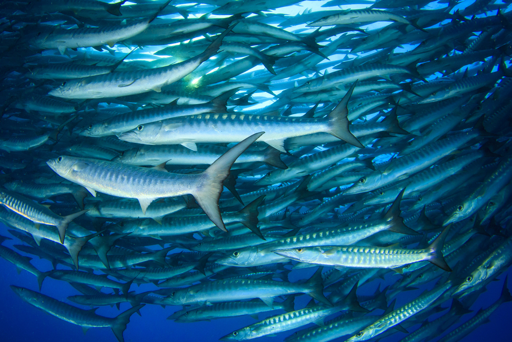 Barracuda . Ulong Channel