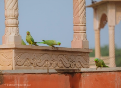 Holy temple and Vrinda parrots in Sri Vrindavan.  Photo credit: Tears of Love. Ananta Vrindavan