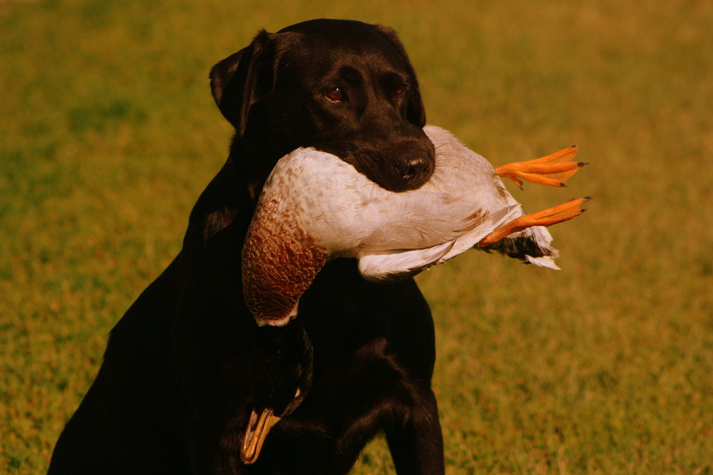 Sadie, a black labrador retriever, holds a duck while awaiting a command during a handling training session.