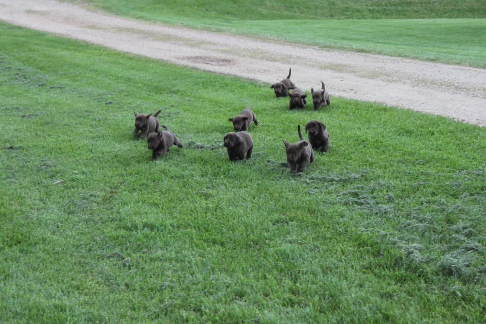 A litter of chocolate labrador puppies out for a run.