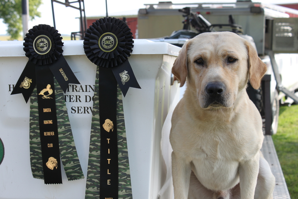 Pistol, a yellow labrador retriever, poses with his recently earned HRC hunt test title ribbons.