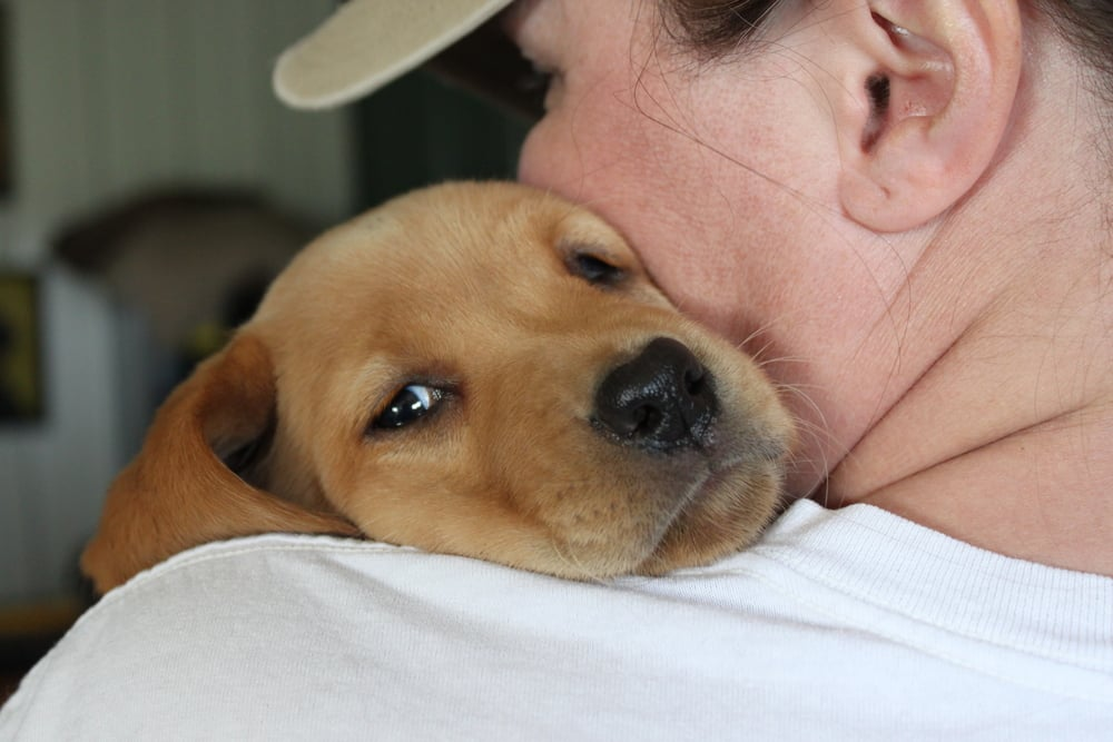 A yellow labrador puppy cozies up for a snuggle with Julie.