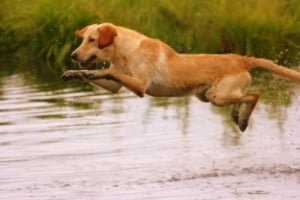 World class trained labrador retrievers.
