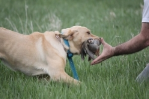 First class professional gun dog training