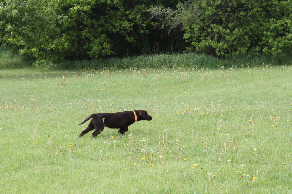 Oakley, one of our female Labrador Retrievers, pointing a bird during a training session.