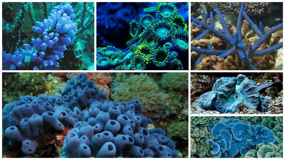 Varietati de Coral Albastru