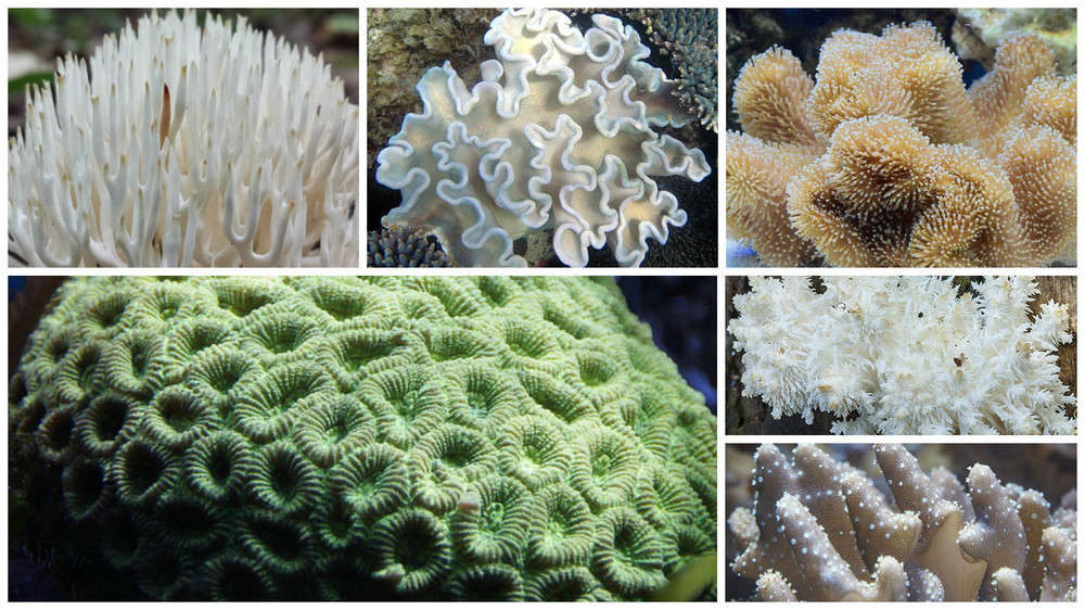Varietati de Coral Alb