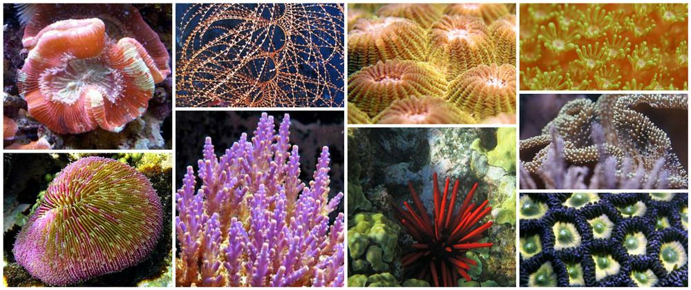 Varietati de Coral