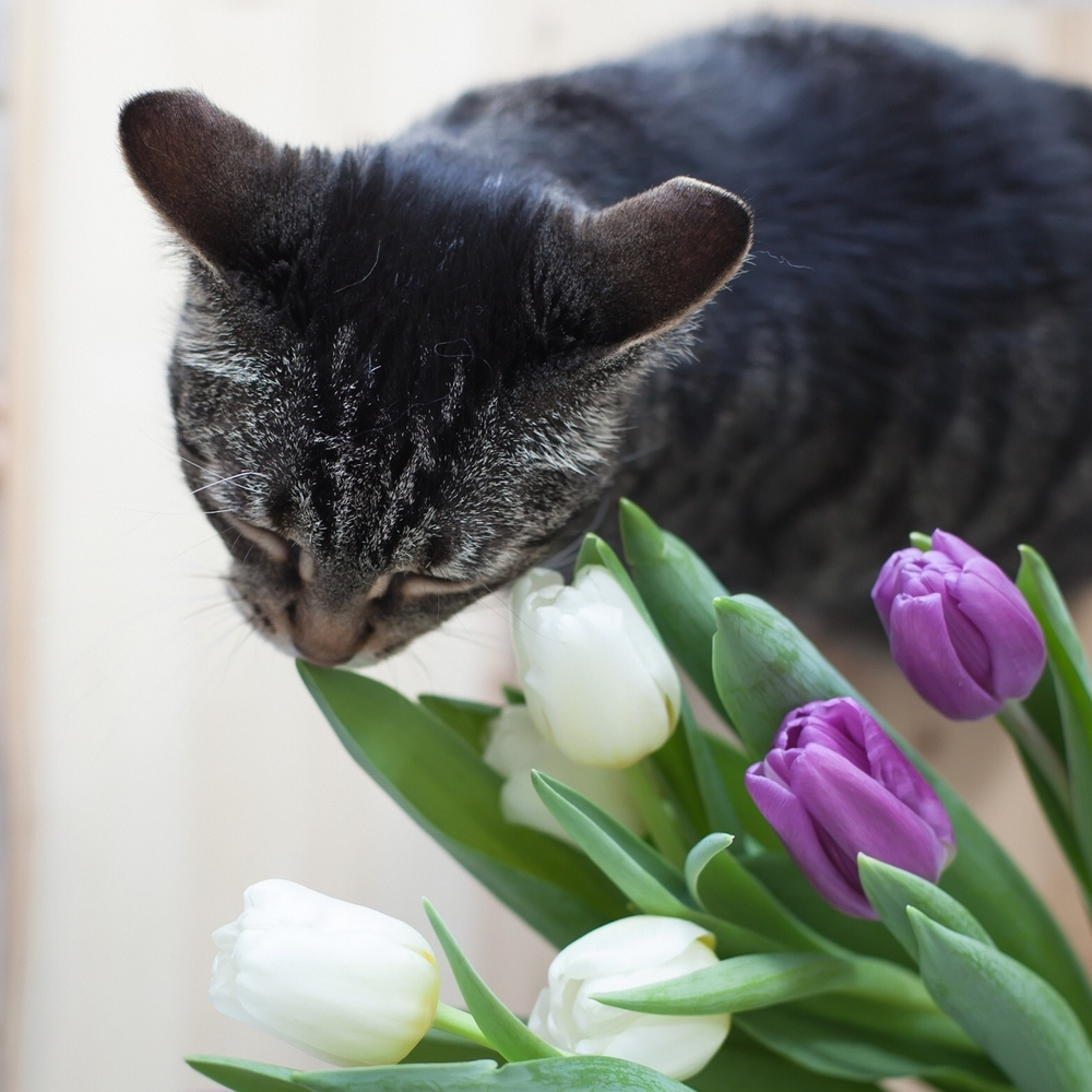 Like owner, like cat. Kayla loves tulips as much as I do.