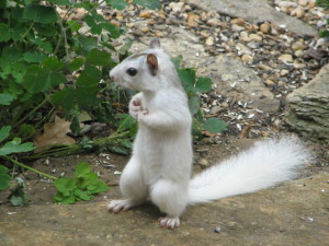 Brevard_NC_white_squirrel