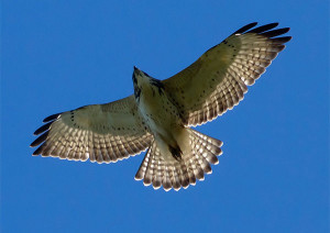 broad-winged-hawk-flying