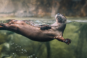 sc-aquarium-otter
