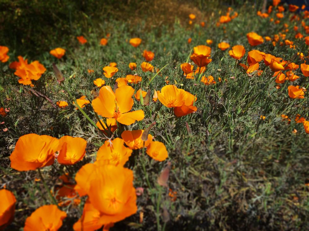 CaliforniaPoppies.jpg