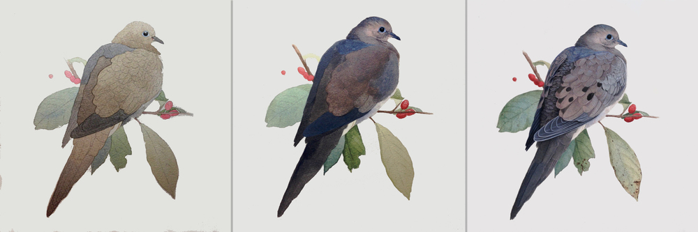 Alex Warnick's Mourning Dove, a depiction in progress as shared on her blog.