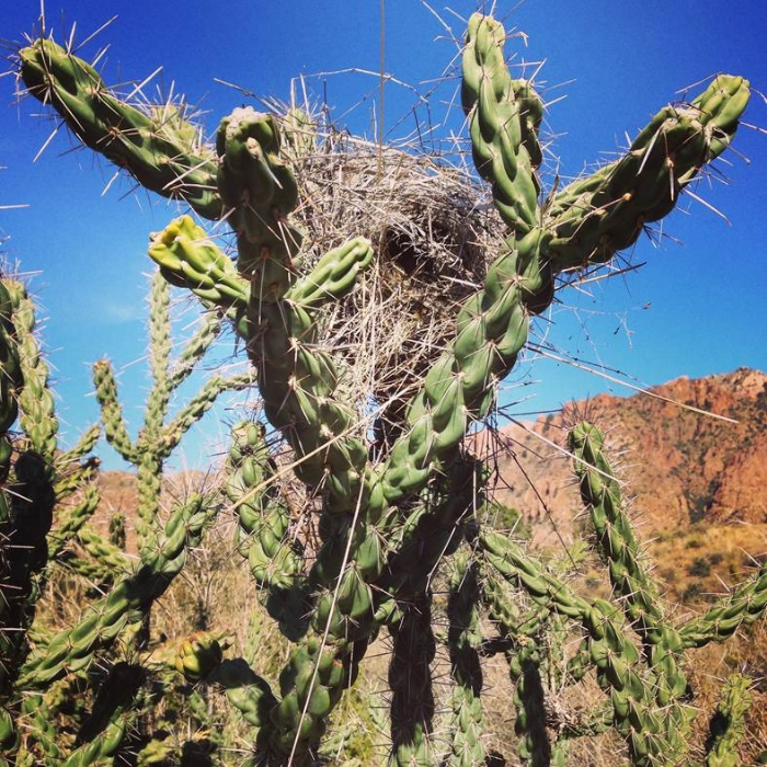 Cactus Wren nest in a Cholla cactus, Big Bend National Park, TX. Photo courtesy of Lorna Leedy.