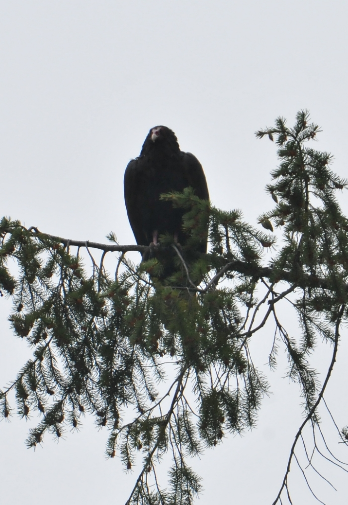 Turkey vulture roosting at Stamped Pass. Photo courtesy of Gilia Angell.