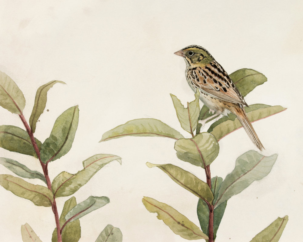 Henslow's Sparrow and Milkweed, by Alex Warnick.
