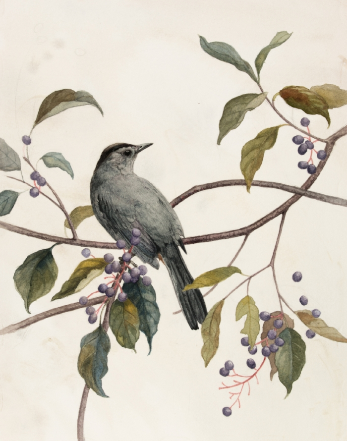 Catbird and Silky Dogwood, by Alex Warnick.