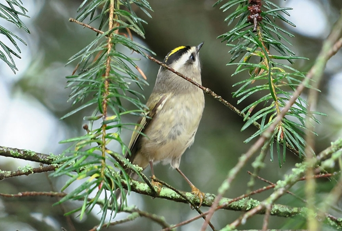 Golden Crowned Kinglet, image: Mike Hamilton.