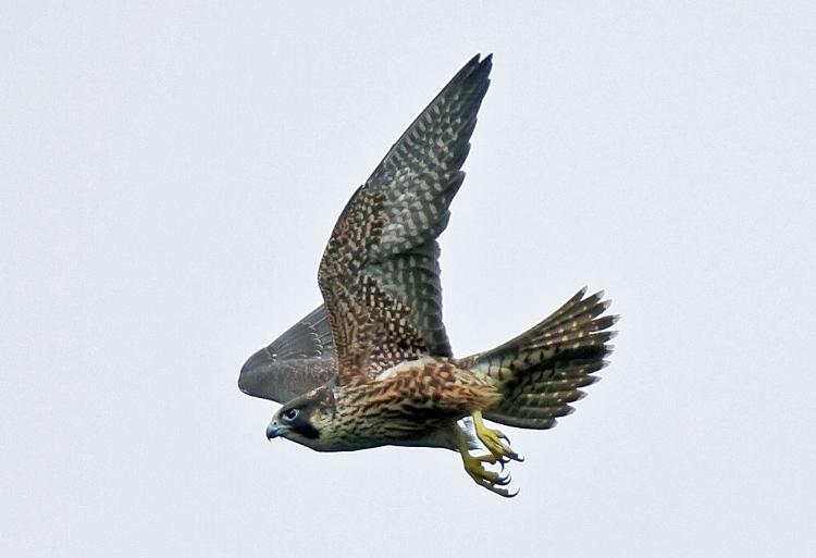 Peregrine falcon. Image: Mike Hamilton