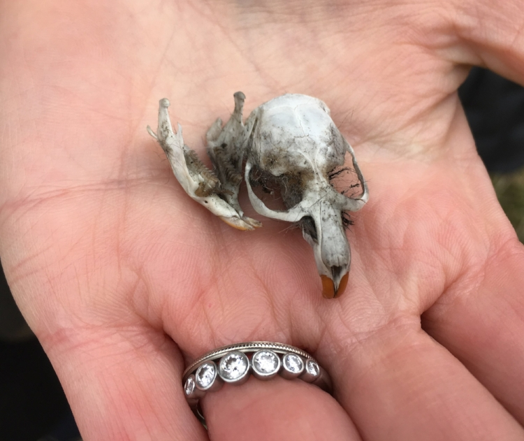 Vole skull extracted from a Short-eared owl pellet found on the ground by our brave birder, Laurel! I brought it home in my pocket. Image: Gaby Charlton.