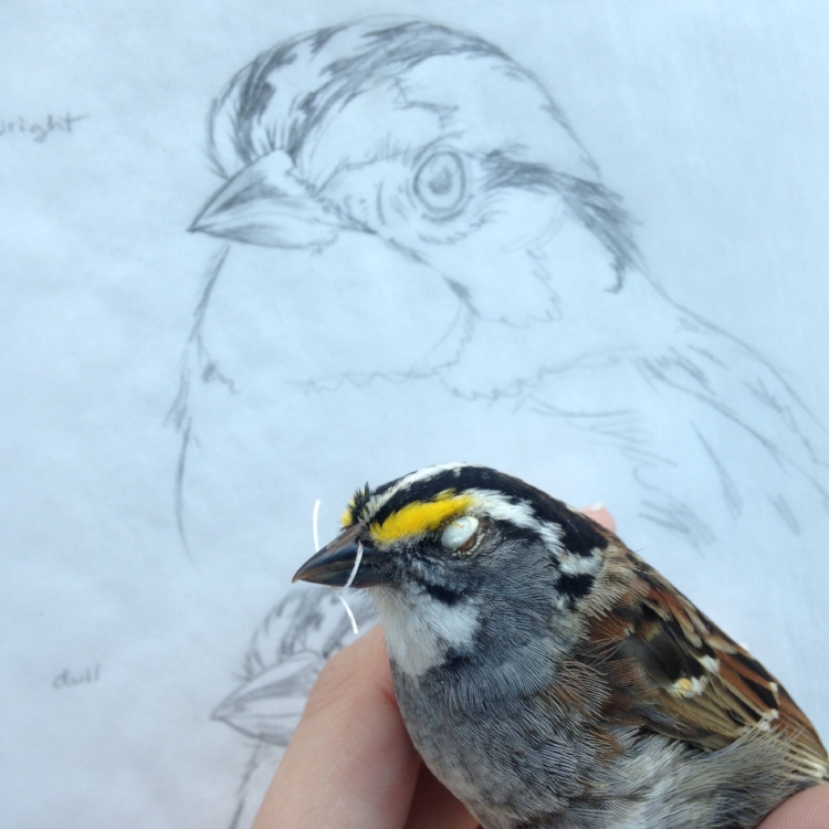 Drawing a White-throated sparrow from a study skin. Image courtesy of the artist.
