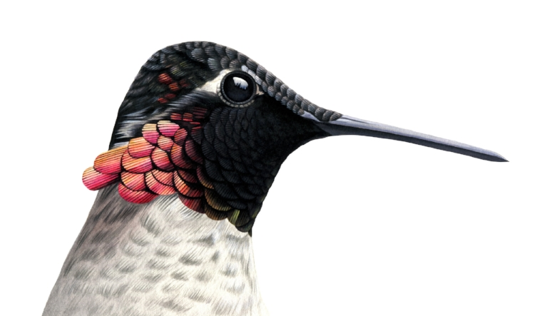 Anna's hummingbird, personal work. Image courtesy of the artist.