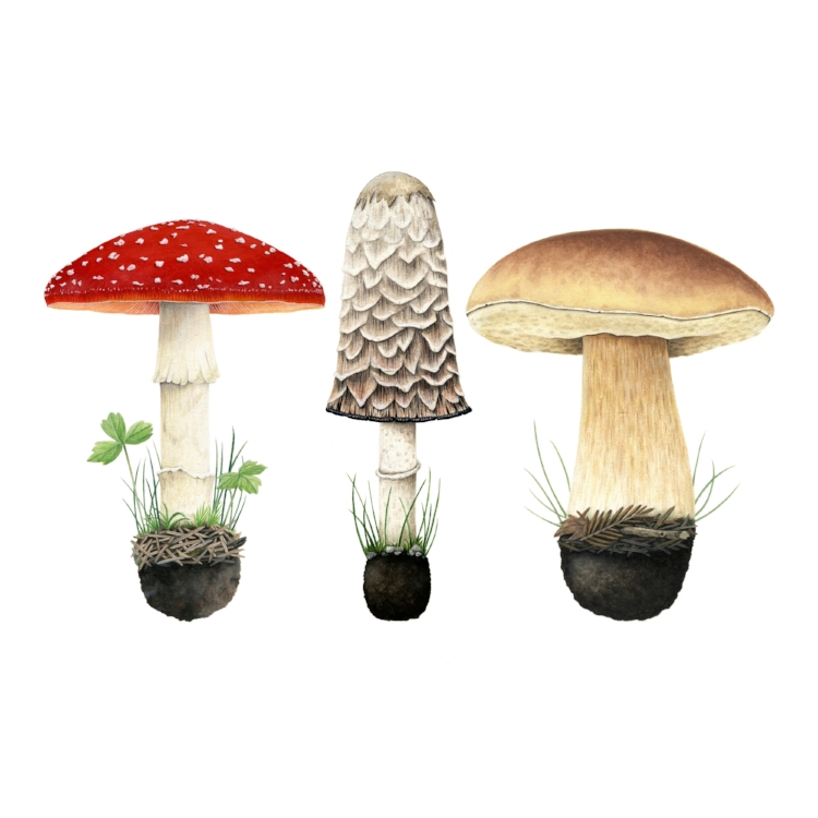 Example of botanical work. Three mushrooms. Image courtesy of the artist.