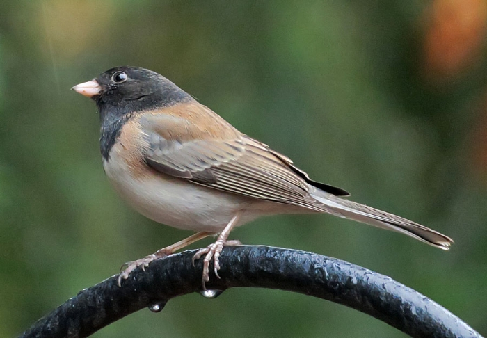 Dark-eyed junco (Photo by Mike Hamilton)
