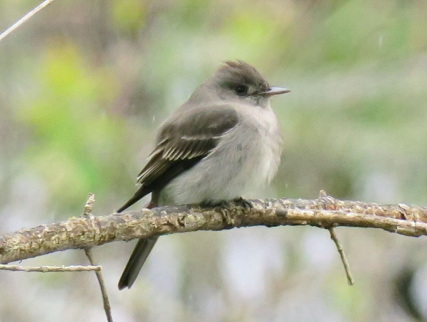 Western Wood Peewee (photo by Mike Hamilton). My first ever! Seen at Cle Elum ponds.