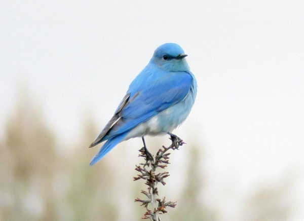 Beautiful male Mountain bluebird (photo by Mike Hamilton). We saw one of these dazzlers at Quilomene.