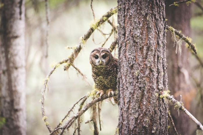 Northern Spotted owl female. Photo by Brandon Husby.