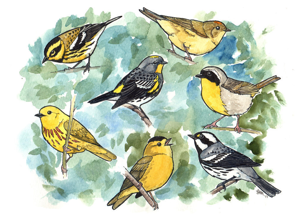 Warbler species of Washington State. Artwork by Laurel Mundy.