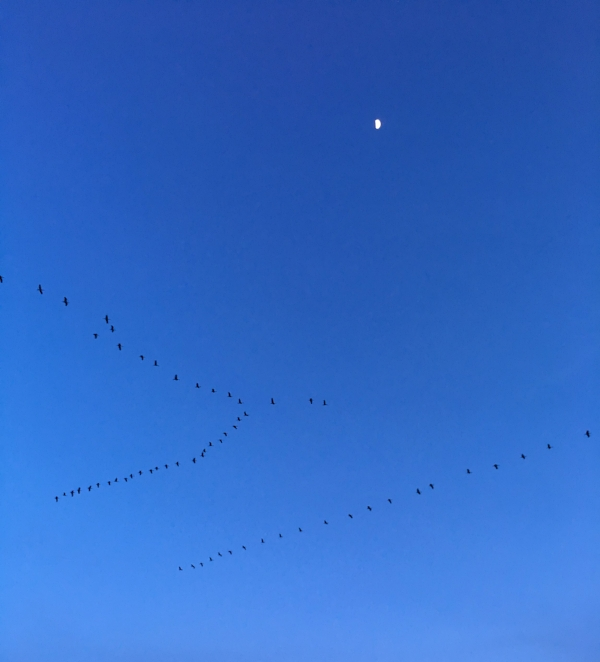 Lesser Sandhill Cranes flying in at dusk to their night roost at the Kooteney Reservoir outside of Othello, WA.