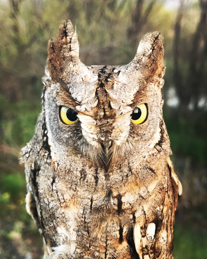 Eurasian Scops Owl.