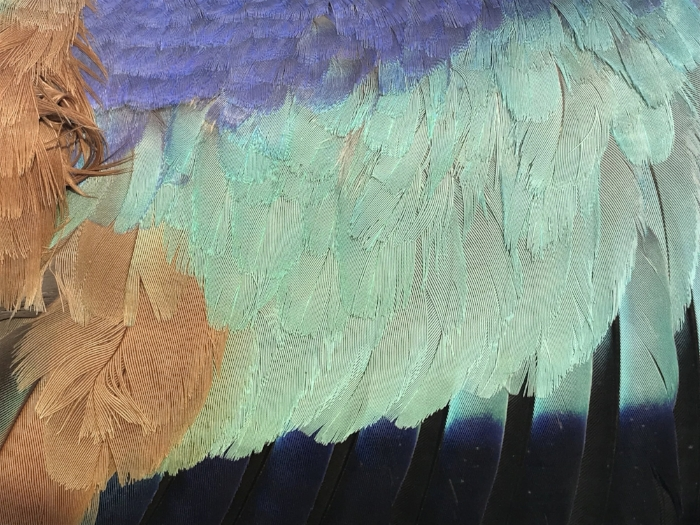 Close up of a European Roller plumage.