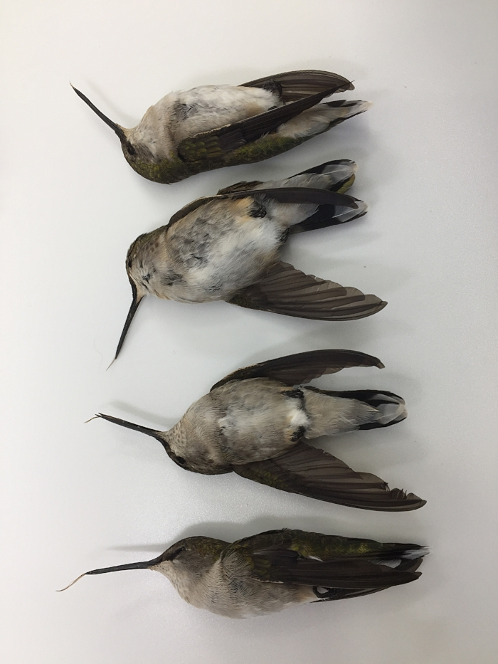 Ruby-Throated Hummingbirds, Spring 2018 window strike casualties.