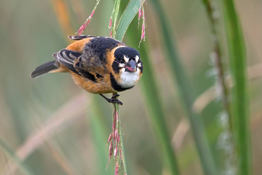 Rusty-collared Seedeater at Rocha Wetlands. Photo by  Bill Pohley .
