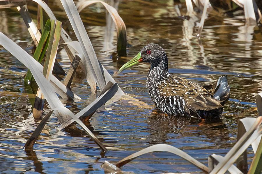 Spotted Rail at Rocha Wetlands. Photo by Bill Pohley.